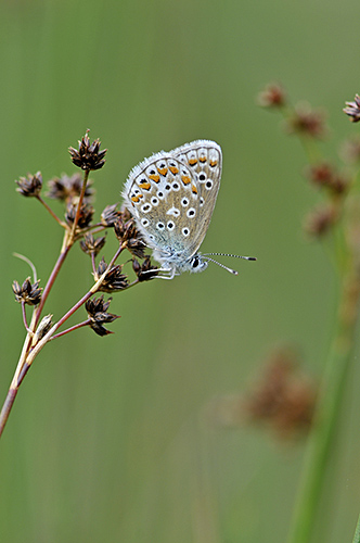 Common Blue Butterfly: Polyommatus icarus