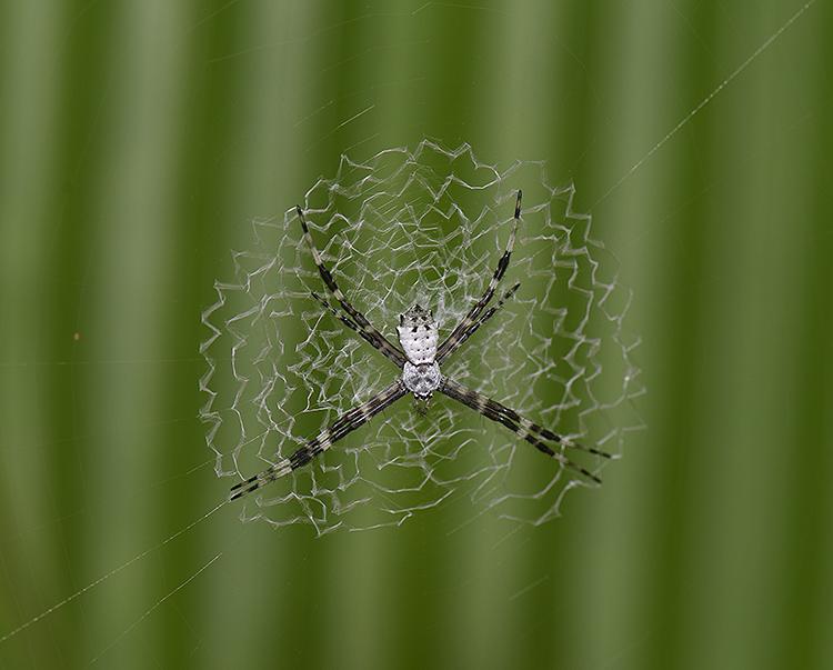 Cross Spider: Argiope sp.