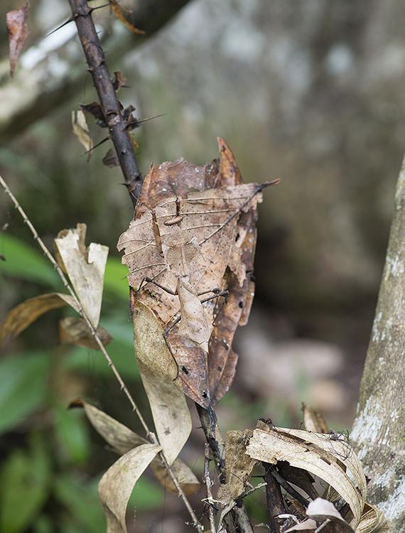 Dead Leaf Mantis, Sabah, Borneo