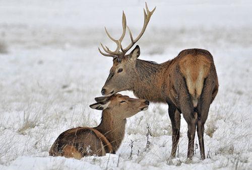 Red Deer pair in snow. December, 2010