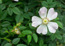 Dog Rose (Rosa canina) Surrey, England
