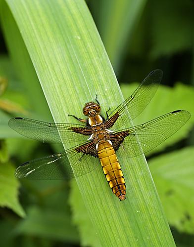 Broad Bodied Chaser Dragonfly (Libellua depresa)  Male. Surrey, England.