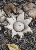 Earthstar fungus: Geastrum triplex.