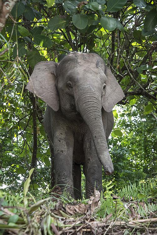 Bornean Pygmy Elephant, Sabah, Borneo