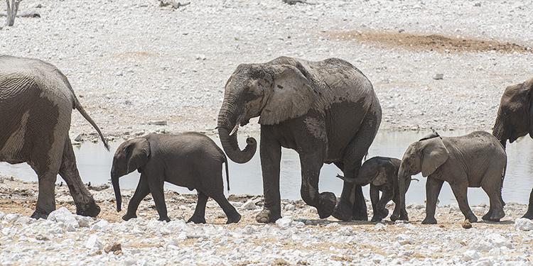 Elephant family, Etosha, Namibia