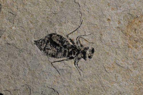 Fossil Dragonfly larva: Libellula doris.