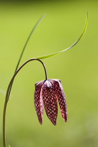 Fritillary (Fritillaria meleagris)