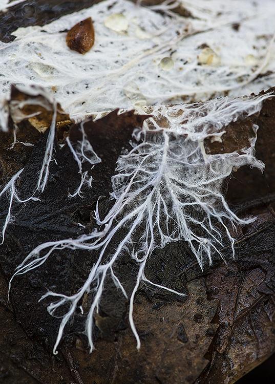 Fungal mycelium