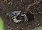 Giant Blue Crab (Cardisoma guanhumi)