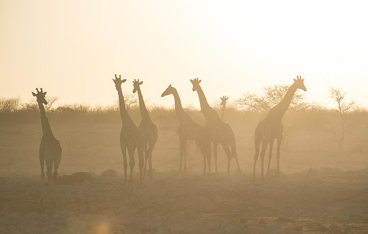 Giraffe at sunset, Etosha, Namibia