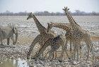 Giraffe at waterhole, Etosha, Namibia