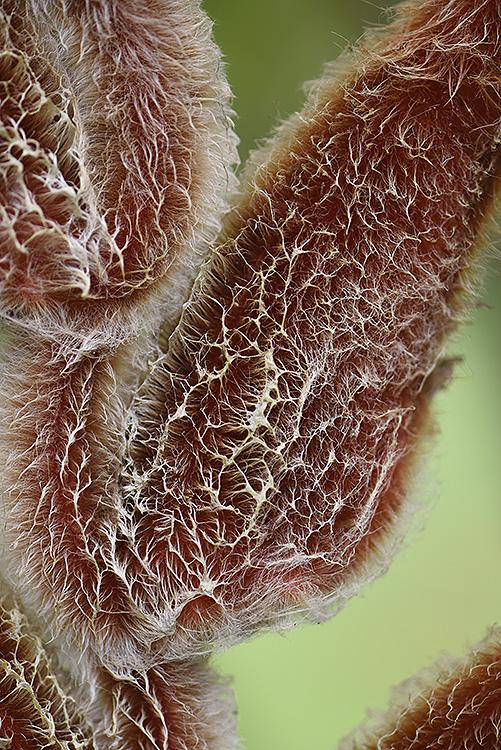 Heliconius danielsiana