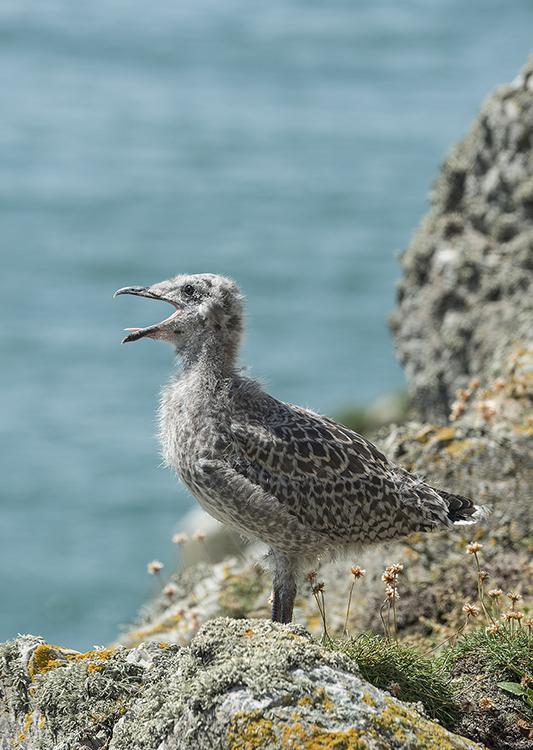 Herring  Gull: Larus argentatus.  chick.