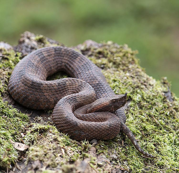 Rainforest Hog-Nosed Pit Viper (Porthidium nasutum)