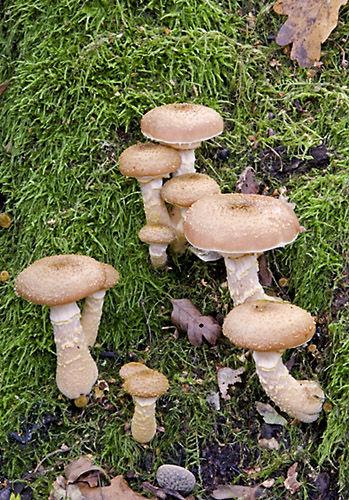 Honey Fungus (Armillaria mellea) Surrey, England