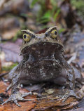 Bornean Horned Frog, Mount Kinabalu, Sabah, Borneo
