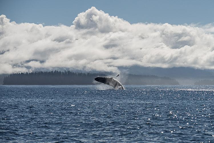 Humpback Whale breaching, Vancouver Island, Canada