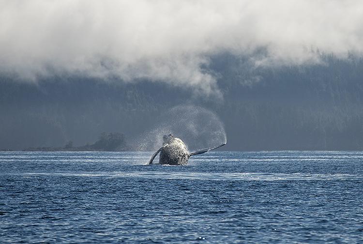 Humpback Whale breaching. Vancouver Island, Canada