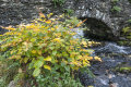 Japanese Knotweed in remote barea of Snowdonia, north Wales