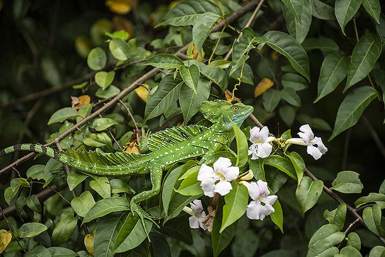 Double Crested Basilisk Lizard (Basiliscus plumifrons)