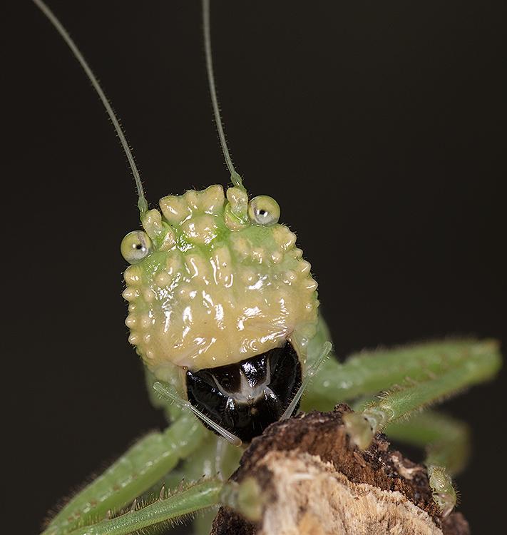 Katydid: Moncheca sp.
