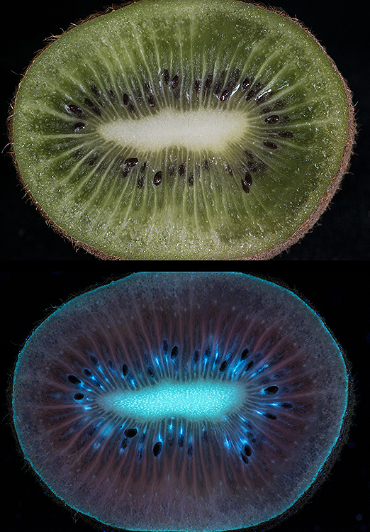 Kiwi fruit in visible and fluorescing in  UV light