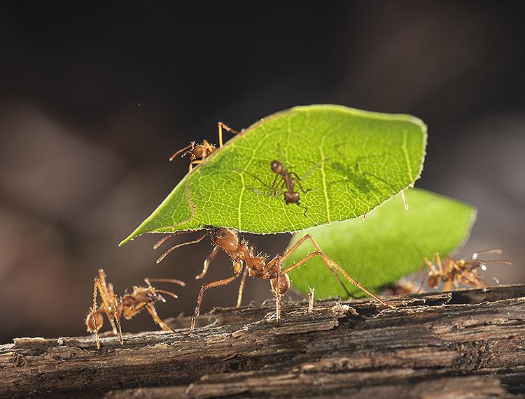 Leaf Cutter Ant (Atta cephalotes)