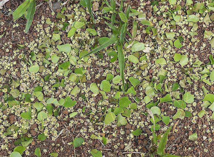 Leaf cuttings made by Leaf Cutter Ants