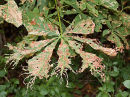 Horse Chestnut Leaf Miner (Cameraria ohridella) A leaf mining moth which first appeared in 2003