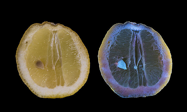 Lemon in visible and fluorescing in  UV light