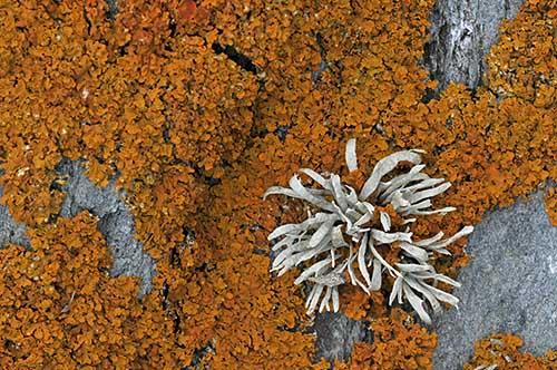 Seashore Lichens Xanthoria parietina and Ramalina siliquosa