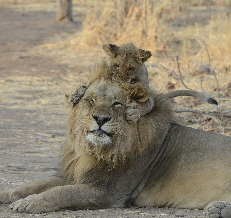 Male Lion with playful cub, Namibia