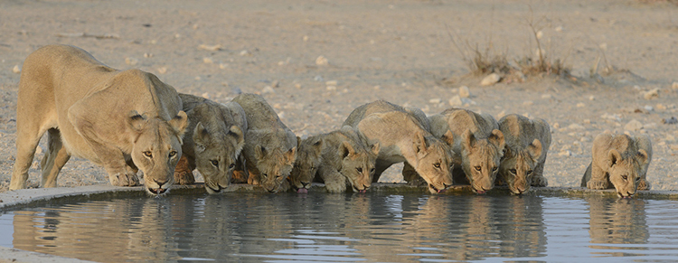 Lion drinking at artificial waterhole, Namibia