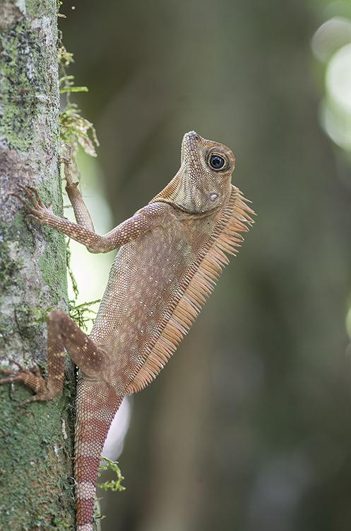 Long Crested Forest Dragon, Sabah, Borneo.