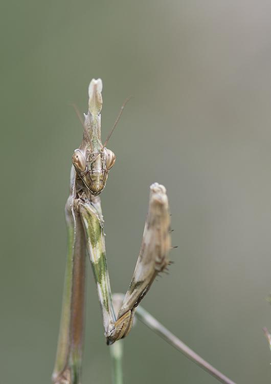 Praying Mantis: Empusa pennata