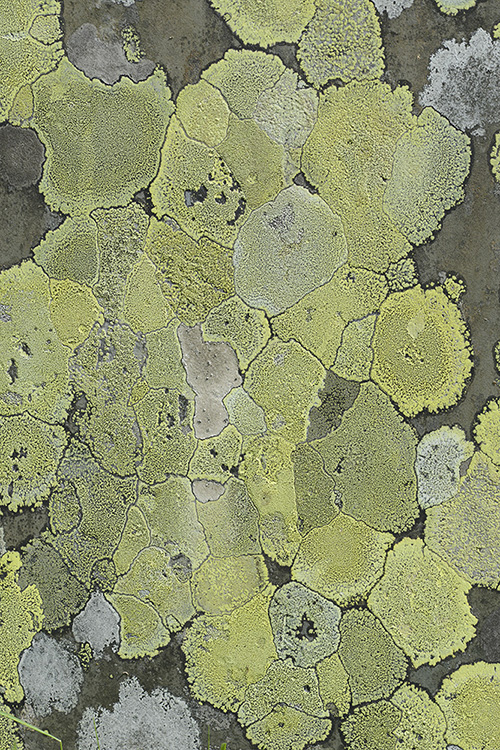 Map Lichen: Rhizocarpon geographicum