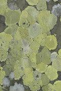 Map Lichen: Rhizocarpon geographicum