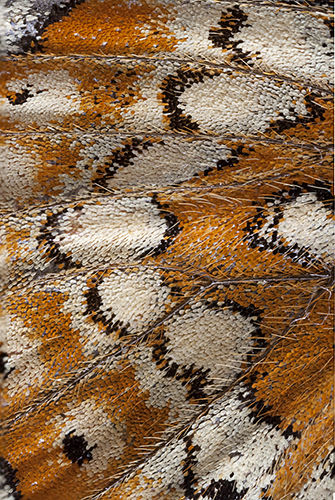 "Wing of Marsh Fritillary butterfly (""focus stacked"" from 3 images"