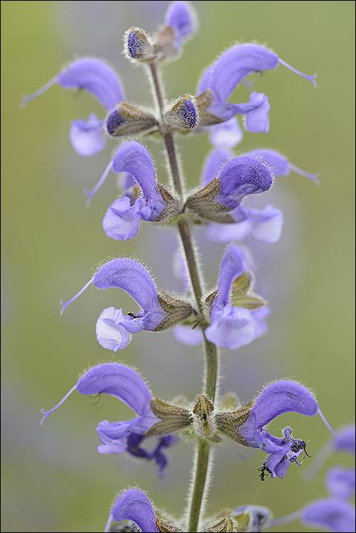 Meadow Clary: Salvia pratensis