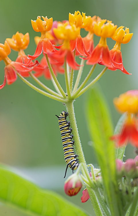 Caterpillar of Monarch butterfly (Danaus plexippus) on Milkweed