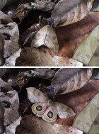 Moth camouflage (Automeris zugana)