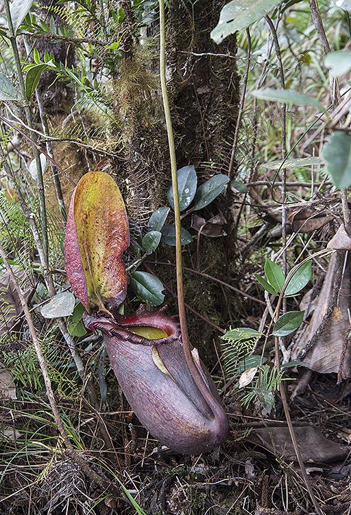 Nepenthes rajah, Mount Kinabalu, Sabah, Borneo
