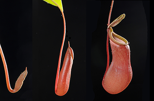 "Series showing development of ""pitcher"" on Insectivorous plant Nepenthes elata"