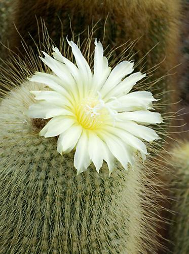 Cactus (Notocactus leninghausii) flower