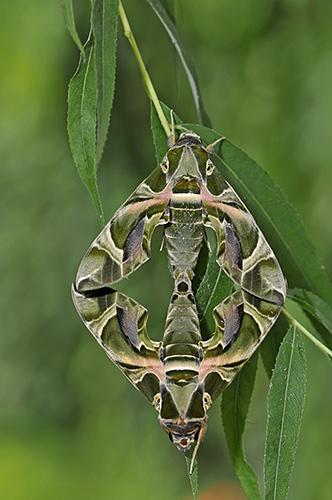 Oleander Hawkmoths: Daphnis nerii. Mating