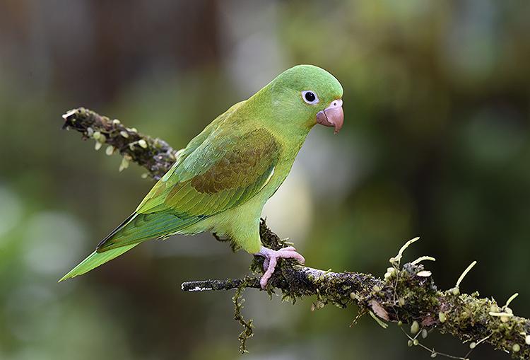 Orange Chinned Parakeet (Brotogeris jugularis)
