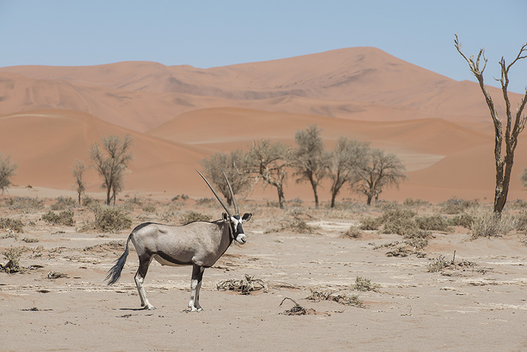 Oryx in Namibian sand dunes
