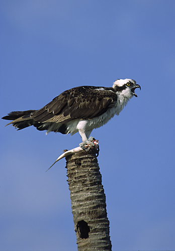 Osprey (Pandion haliaetus) Everglades, Florida