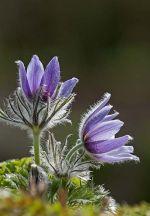 Pasque Flower: Pulsatilla vulgaris