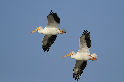 White Pelicans, Ding Darling Nature Reserve, Florida